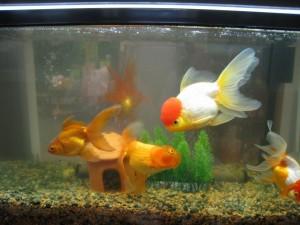漢方の金魚水槽