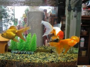 漢方の金魚