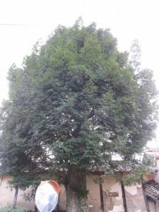 漢方のカヤの木