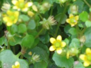 漢方の黄色の小花