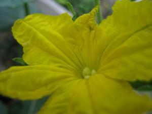 漢方のキューリの花
