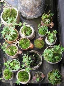 漢方の盆栽