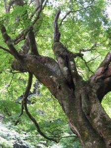 漢方の紅葉の木
