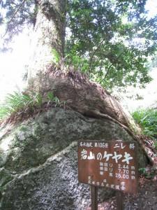 漢方のけやきの木