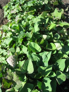 漢方のさつま芋の葉