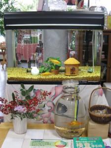 漢方の金魚たち