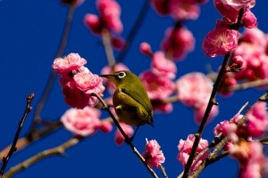 漢方の梅の花