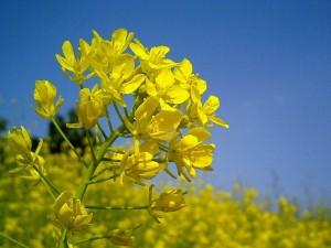漢方の菜の花