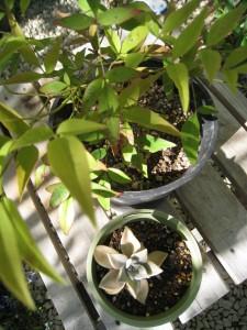 漢方の南天、多肉植物