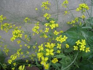 漢方のチンゲンサイの花