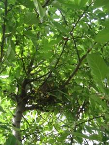 漢方のハトの巣