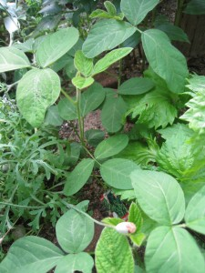 漢方の枝豆