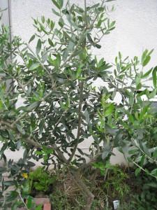 漢方のオリーブの木