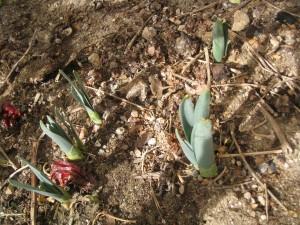 漢方の水仙の球根の芽