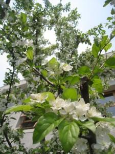漢方のコリンゴ