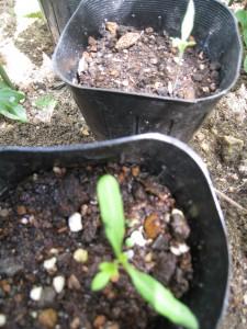漢方のミニトマト発芽