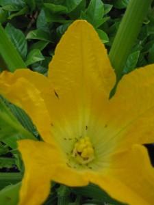 漢方のズッキーニの花