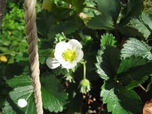 漢方のイチゴの花