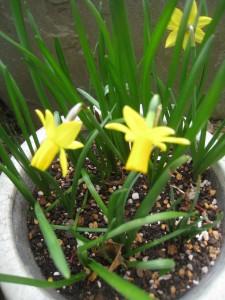 漢方の水仙の花