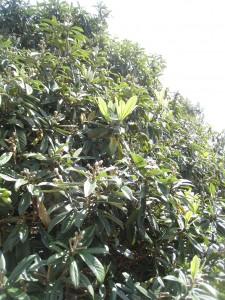 漢方の琵琶の木