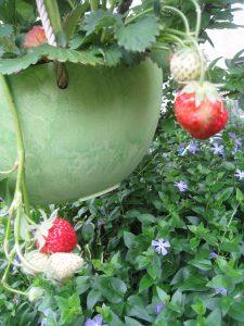 漢方のイチゴ