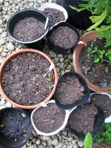 漢方の野菜の種まき