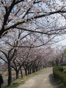 漢方の桜の木