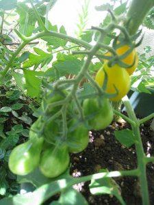 漢方のイエローペアトマト