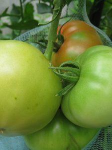 漢方の大玉トマト