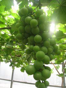 漢方のブドウ