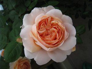 漢方のバラ