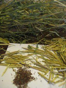 漢方のもち菜の種