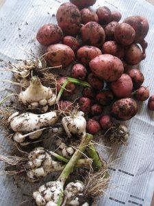 漢方のジャガイモ、ニンニク