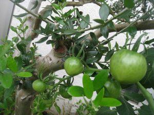 漢方の中玉トマト