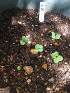 漢方のおでん大根の種 発芽
