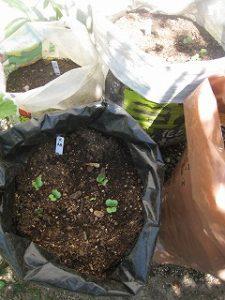 漢方の大根の種発芽