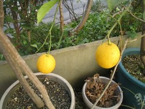漢方のレモン