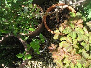 漢方の鉢植え