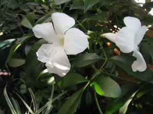 漢方の白い花