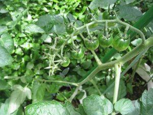 漢方のミニトマト